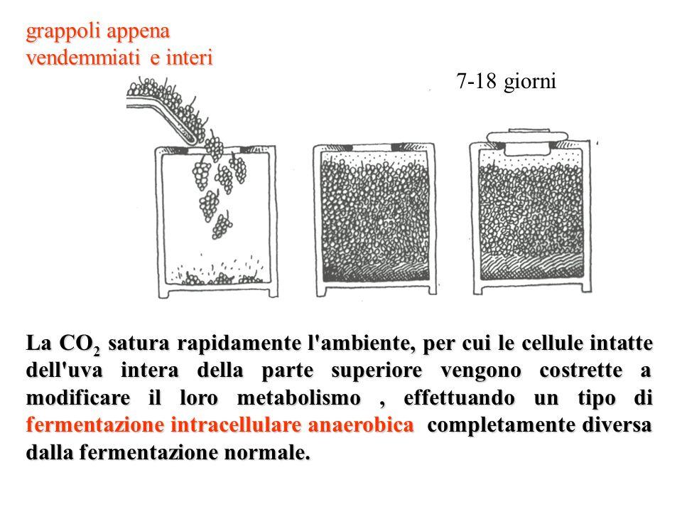 La CO 2 satura rapidamente l'ambiente, per cui le cellule intatte dell'uva intera della parte superiore vengono costrette a modificare il loro metabol