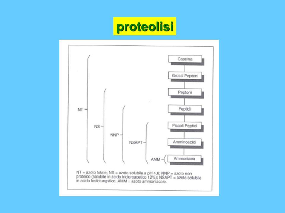 proteolisi