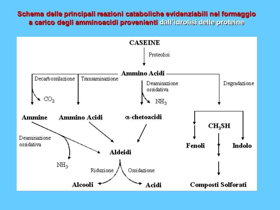 Schema delle principali reazioni cataboliche evidenziabili nel formaggio a carico degli amminoacidi provenienti dallidrolisi delle proteine