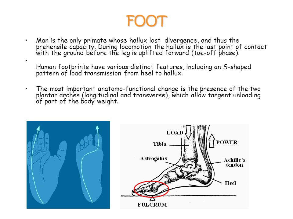 FOOT Man is the only primate whose hallux lost divergence, and thus the prehensile capacity.