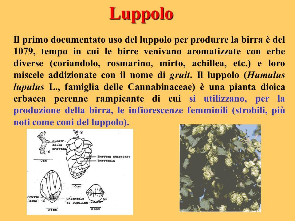 Luppolo Il primo documentato uso del luppolo per produrre la birra è del 1079, tempo in cui le birre venivano aromatizzate con erbe diverse (coriandol