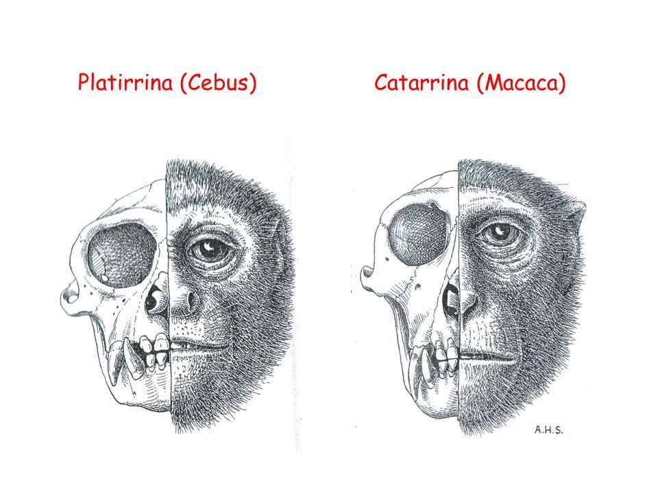 Platirrina (Cebus)Catarrina (Macaca)