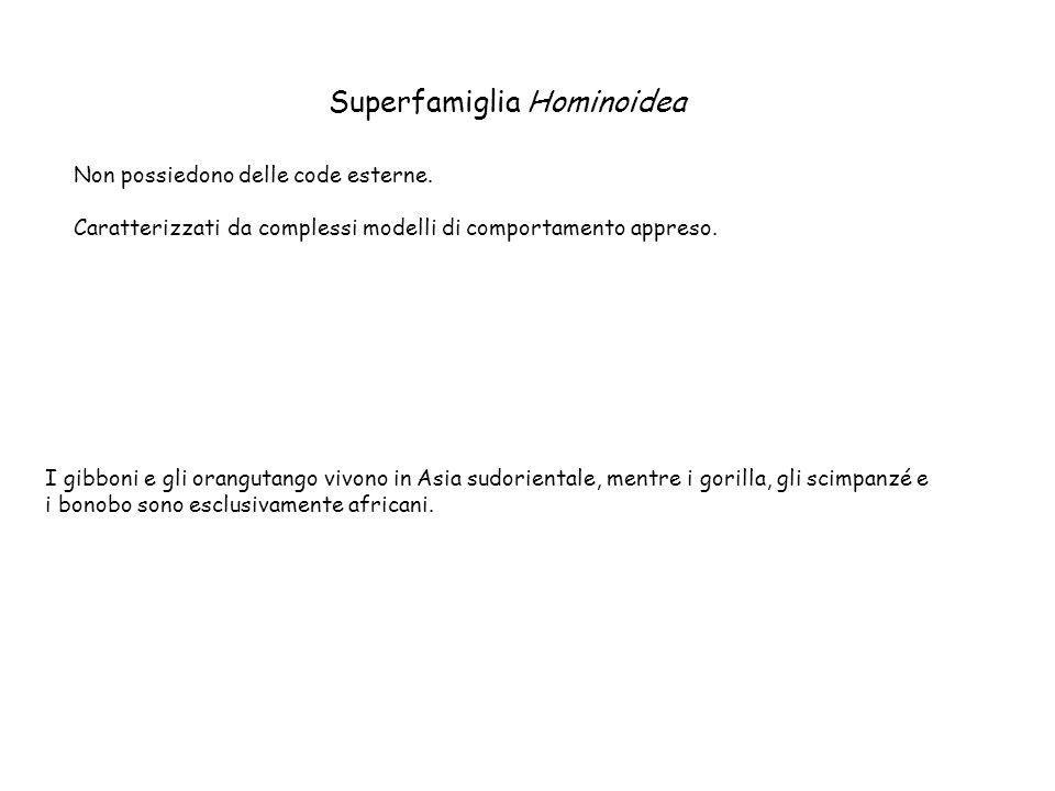 Superfamiglia Hominoidea Non possiedono delle code esterne. Caratterizzati da complessi modelli di comportamento appreso. I gibboni e gli orangutango