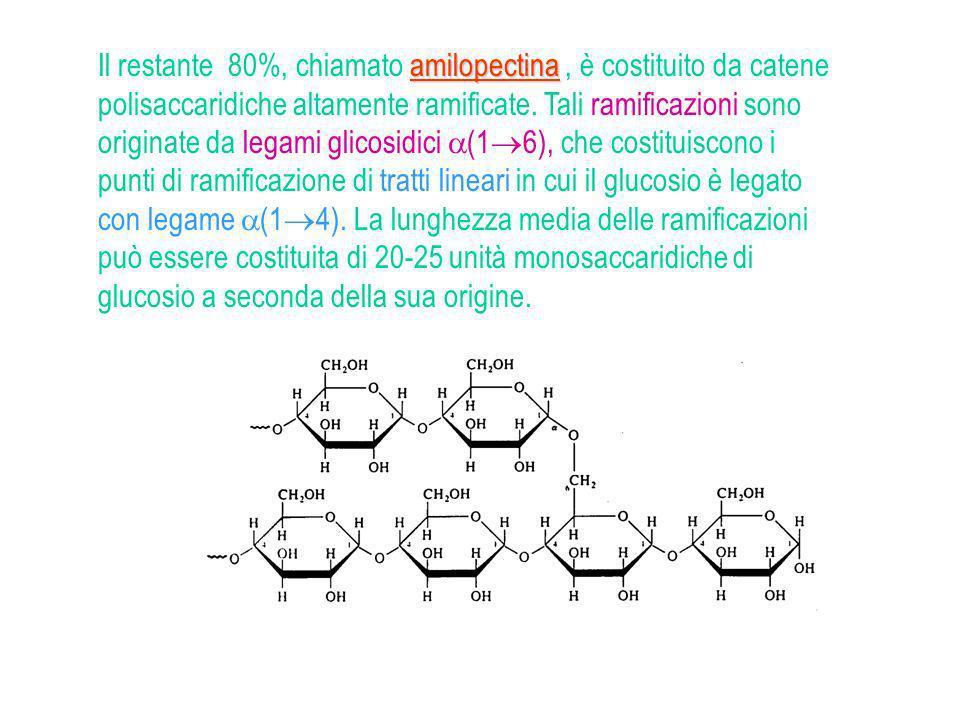 -amilasi degradano il legami -(1--- 4) -amilasi degradano il legami -(1--- 4) rimuovendo il maltosio dalle estremità delle ramificazioni esterne amilo -(16)-glucosidasi idrolizzano i legami -(1--- 6 ) delle ramificazioni glicogeno