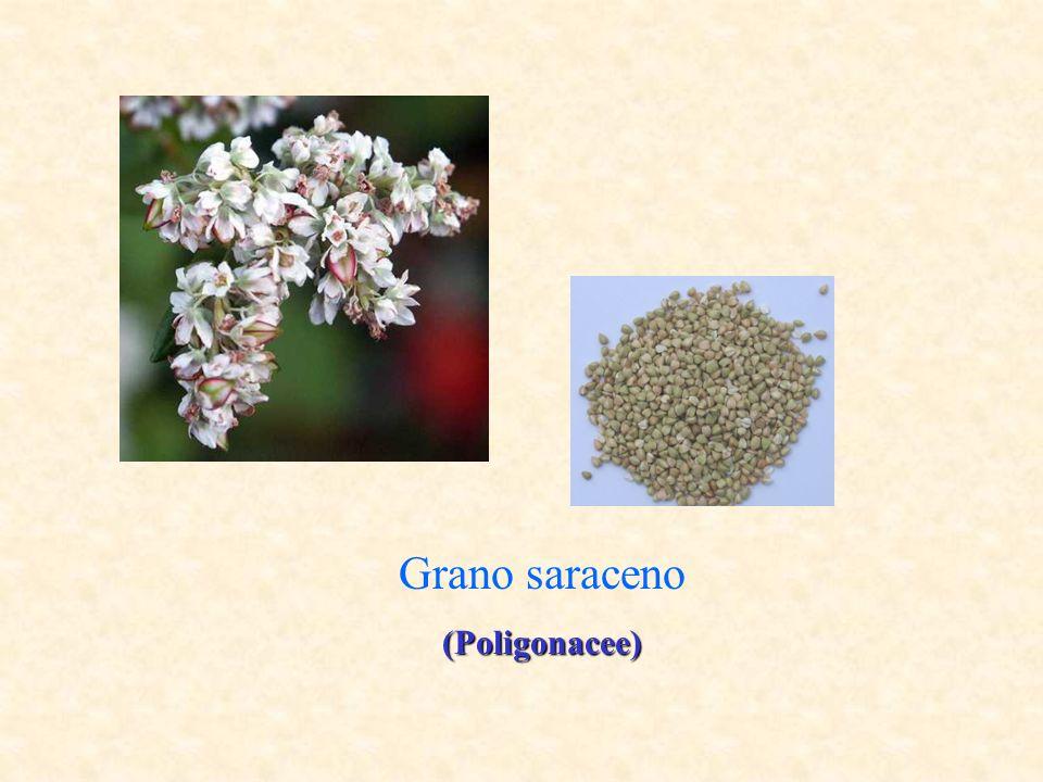 Composizione chimica e valore energetico del grano saraceno (per 100g di parte edibile) Note Parte edibile (%): 100 Acqua (g): 13,1 Proteine (g): 12,4 Lipidi(g): 3,3 Carboidrati disponibili (g): 62,5 Fibra totale (g): 6,0 Energia (kcal): 314 Energia (kJ): 1312 Potassio (mg): 450 Ferro (mg): 4,0 Calcio (mg): 110 Fosforo (mg): 330 Tiamina (B1) (mg): 0,60 Niacina (B3) (mg): 4,40