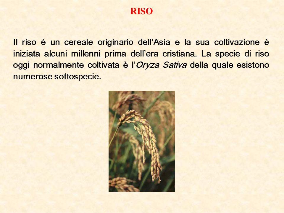 RISO Il riso è un cereale originario dellAsia e la sua coltivazione è iniziata alcuni millenni prima dellera cristiana. La specie di riso oggi normalm