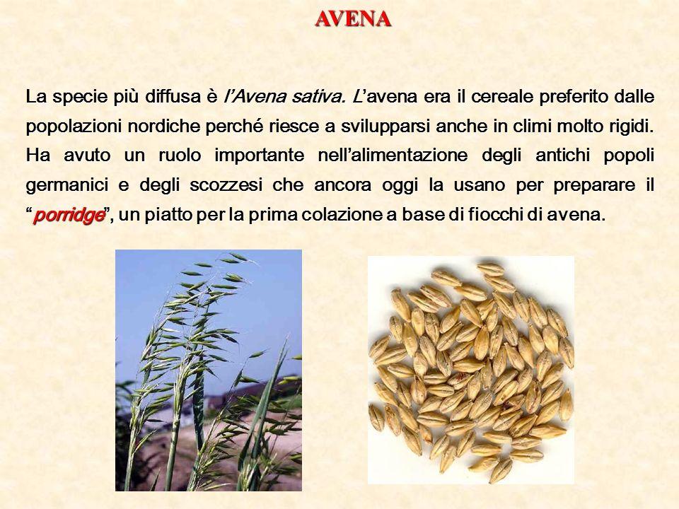 AVENA La specie più diffusa è lAvena sativa. Lavena era il cereale preferito dalle popolazioni nordiche perché riesce a svilupparsi anche in climi mol