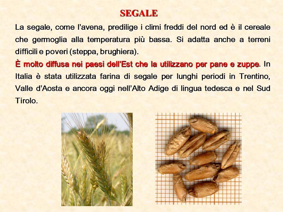 SEGALE La segale, come lavena, predilige i climi freddi del nord ed è il cereale che germoglia alla temperatura più bassa. Si adatta anche a terreni d