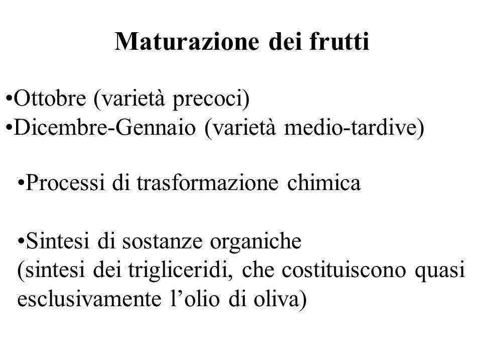 Maturazione dei frutti Ottobre (varietà precoci) Dicembre-Gennaio (varietà medio-tardive) Processi di trasformazione chimica Sintesi di sostanze organiche (sintesi dei trigliceridi, che costituiscono quasi esclusivamente lolio di oliva)