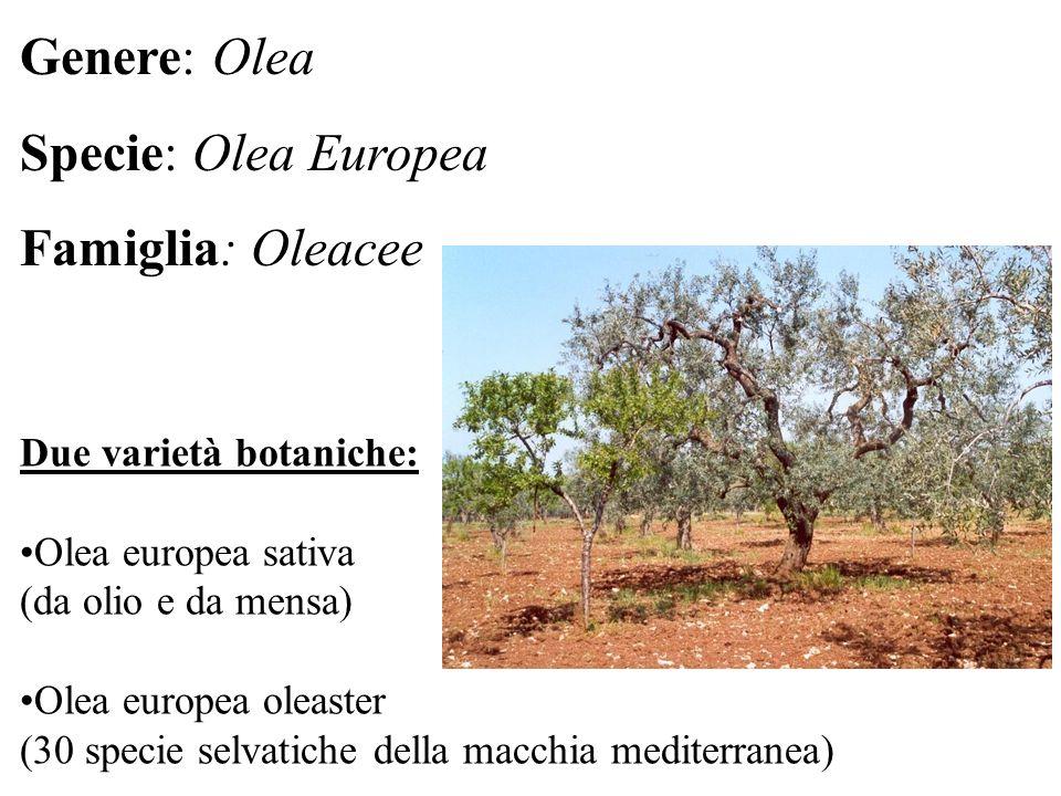 Due varietà botaniche: Olea europea sativa (da olio e da mensa) Olea europea oleaster (30 specie selvatiche della macchia mediterranea) Genere: Olea Specie: Olea Europea Famiglia: Oleacee