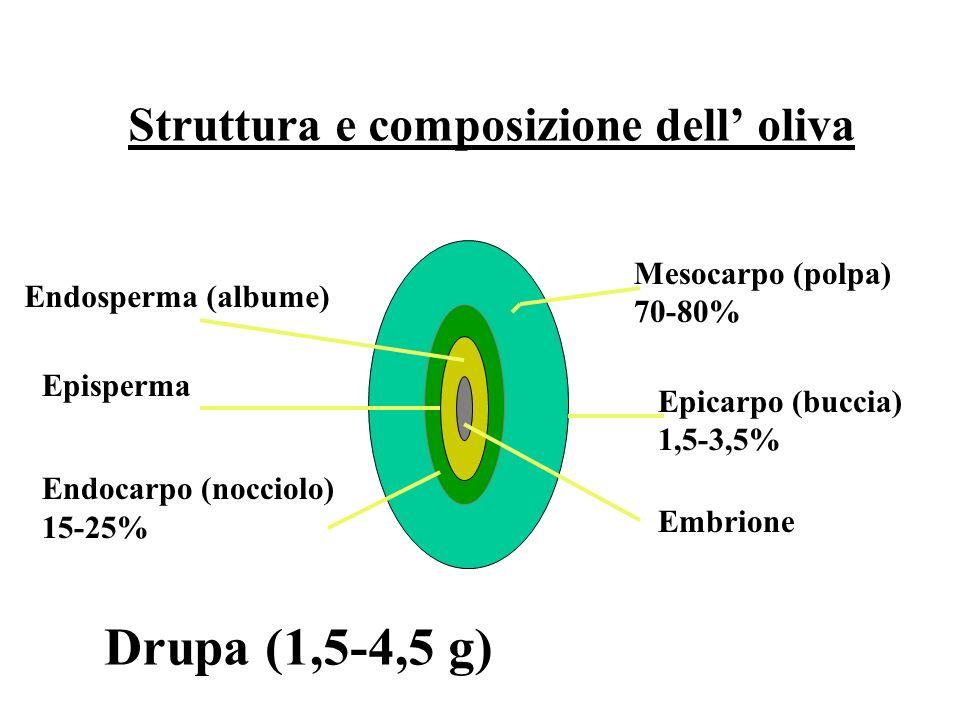Struttura e composizione dell oliva Mesocarpo (polpa) 70-80% Epicarpo (buccia) 1,5-3,5% Endosperma (albume) Episperma Endocarpo (nocciolo) 15-25% Embrione Drupa (1,5-4,5 g)