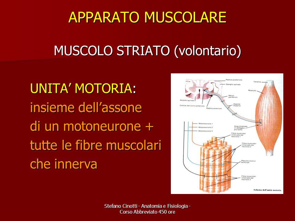 Stefano Cinotti - Anatomia e Fisiologia - Corso Abbreviato 450 ore APPARATO MUSCOLARE MUSCOLO STRIATO (volontario) UNITA MOTORIA: UNITA MOTORIA: insie
