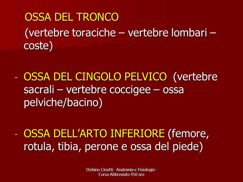 Stefano Cinotti - Anatomia e Fisiologia - Corso Abbreviato 450 ore OSSA DEL TRONCO OSSA DEL TRONCO (vertebre toraciche – vertebre lombari – coste) (ve