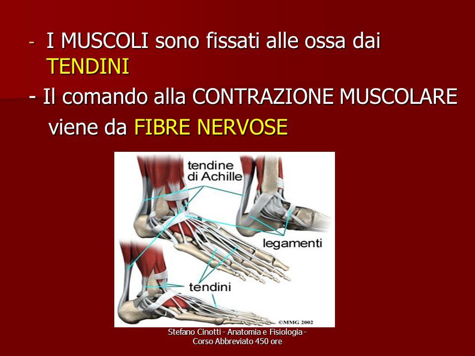 Stefano Cinotti - Anatomia e Fisiologia - Corso Abbreviato 450 ore - I MUSCOLI sono fissati alle ossa dai TENDINI - Il comando alla CONTRAZIONE MUSCOL