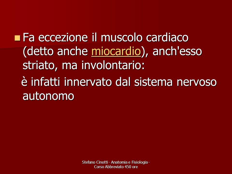 Stefano Cinotti - Anatomia e Fisiologia - Corso Abbreviato 450 ore MUSCOLO LISCIO (INVOLONTARIO) NON E COMANDATO DALLA VOLONTA, MA DIRETTAMENTE DAL SISTEMA MA DIRETTAMENTE DAL SISTEMA NERVOSO VEGETATIVO NERVOSO VEGETATIVO CLASSICO ESEMPIO : CLASSICO ESEMPIO : MUSCOLATURA LISCIA INTESTINALE MUSCOLATURA LISCIA INTESTINALE