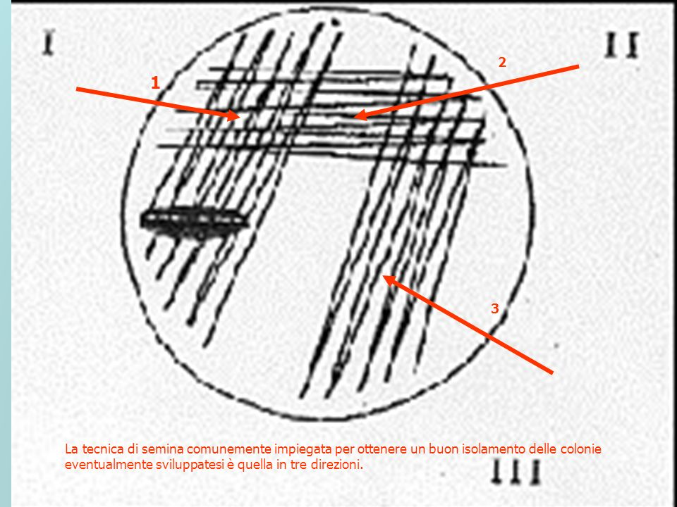 La tecnica di semina comunemente impiegata per ottenere un buon isolamento delle colonie eventualmente sviluppatesi è quella in tre direzioni. 1 2 3