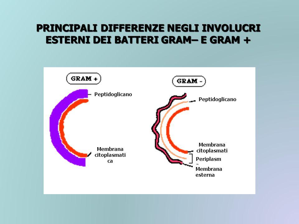 PRINCIPALI DIFFERENZE NEGLI INVOLUCRI ESTERNI DEI BATTERI GRAM– E GRAM + Peptidoglicano Membrana citoplasmati ca Peptidoglicano Membrana citoplasmati