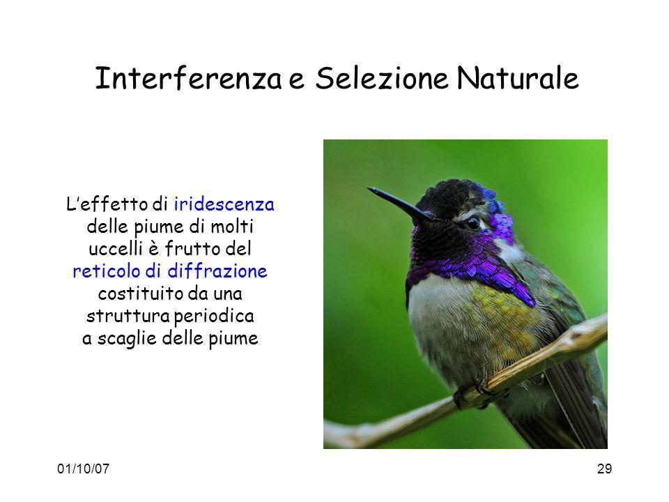 01/10/0729 Interferenza e Selezione Naturale Leffetto di iridescenza delle piume di molti uccelli è frutto del reticolo di diffrazione costituito da u