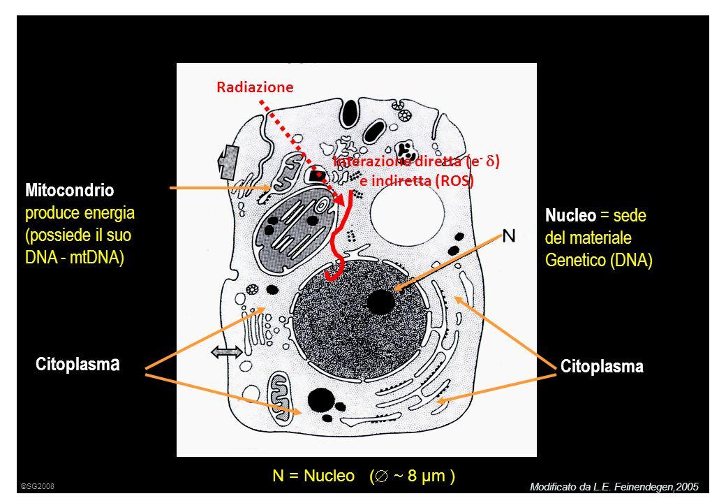 Mitocondrio produce energia (possiede il suo DNA - mtDNA) Citoplasm a Nucleo = sede del materiale Genetico (DNA) Citoplasma N = Nucleo ( 8 μm ) Radiazione Interazione diretta (e - ) e indiretta (ROS) Modificato da L.E.