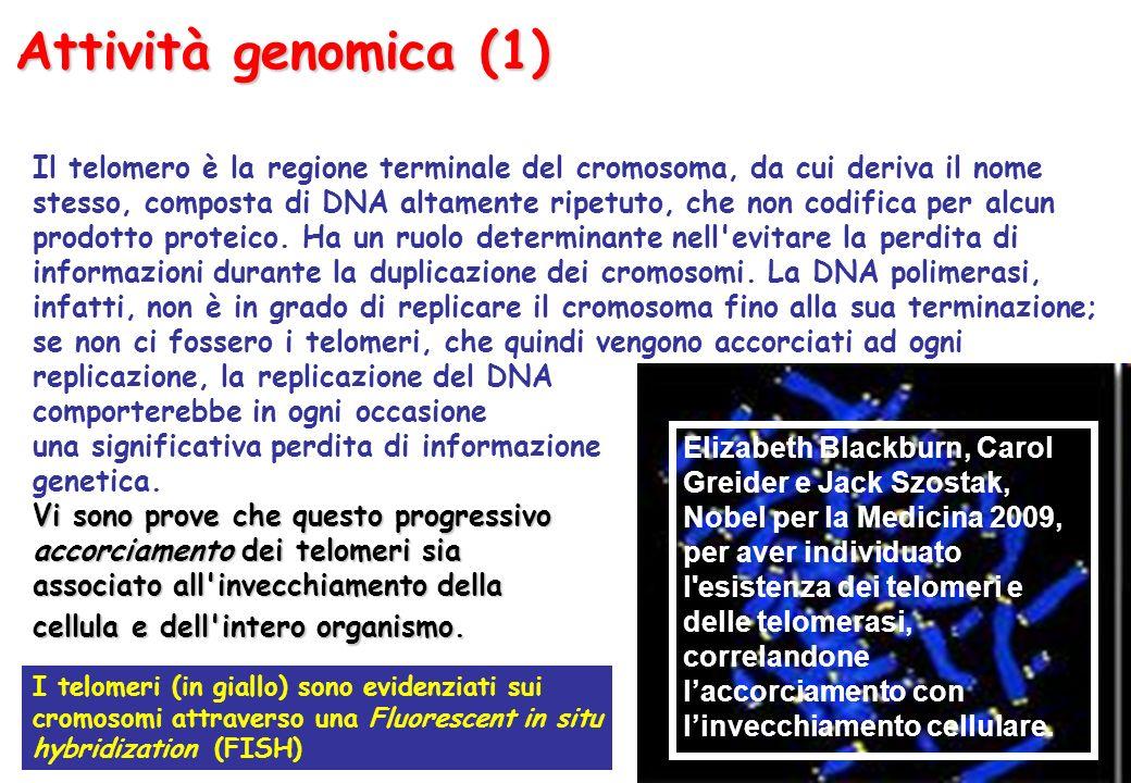 Attività genomica (1) Il telomero è la regione terminale del cromosoma, da cui deriva il nome stesso, composta di DNA altamente ripetuto, che non codifica per alcun prodotto proteico.