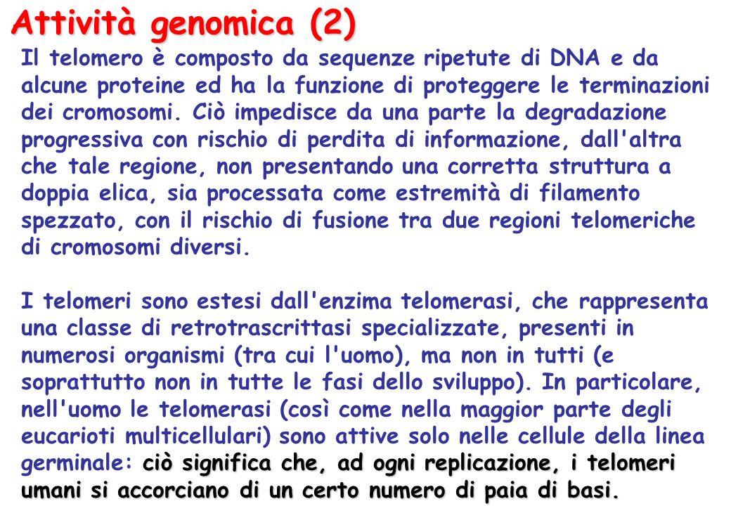 Attività genomica (2) Il telomero è composto da sequenze ripetute di DNA e da alcune proteine ed ha la funzione di proteggere le terminazioni dei cromosomi.