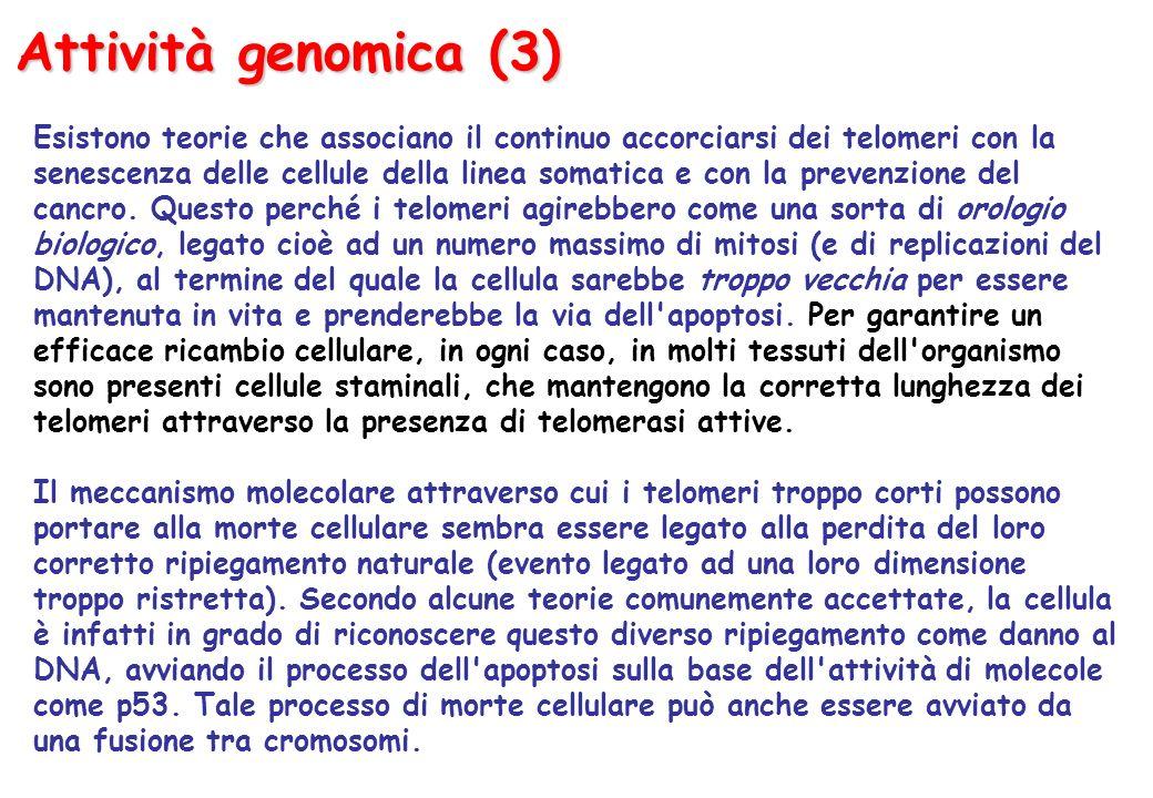Attività genomica (3) Esistono teorie che associano il continuo accorciarsi dei telomeri con la senescenza delle cellule della linea somatica e con la prevenzione del cancro.