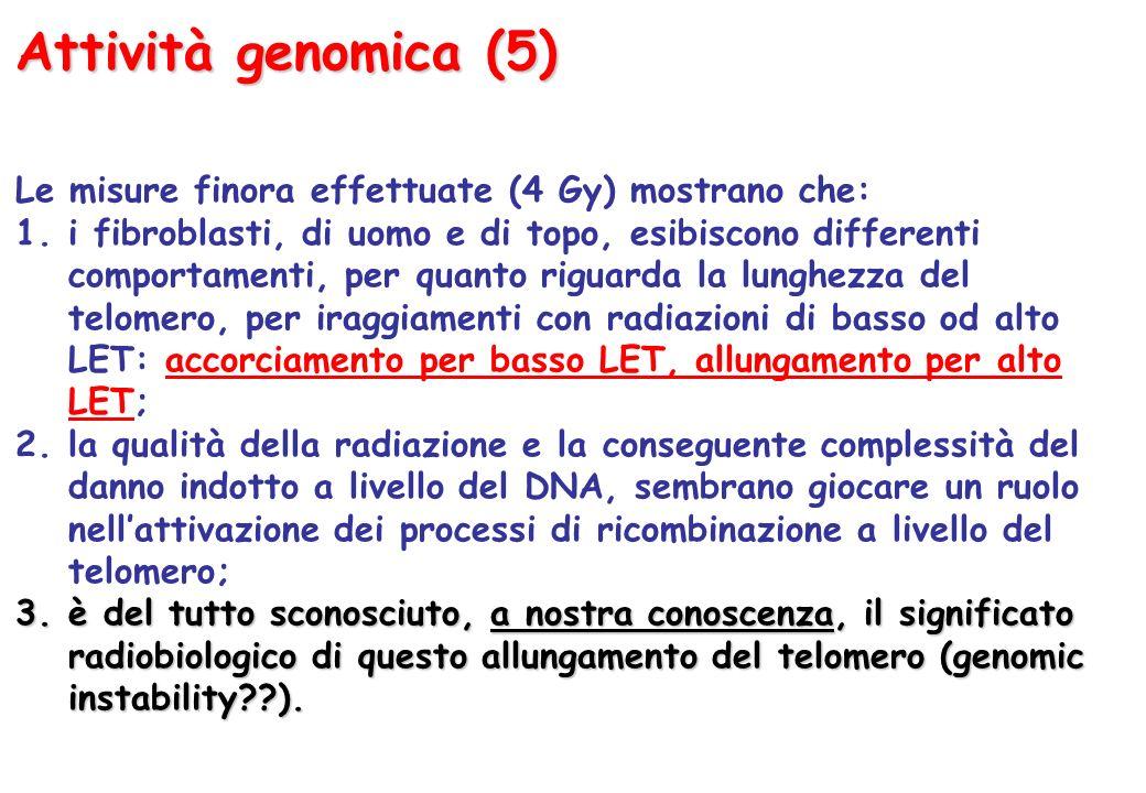 Attività genomica (5) Le misure finora effettuate (4 Gy) mostrano che: 1.i fibroblasti, di uomo e di topo, esibiscono differenti comportamenti, per quanto riguarda la lunghezza del telomero, per iraggiamenti con radiazioni di basso od alto LET: accorciamento per basso LET, allungamento per alto LET; 2.la qualità della radiazione e la conseguente complessità del danno indotto a livello del DNA, sembrano giocare un ruolo nellattivazione dei processi di ricombinazione a livello del telomero; 3.è del tutto sconosciuto, a nostra conoscenza, il significato radiobiologico di questo allungamento del telomero (genomic instability??).