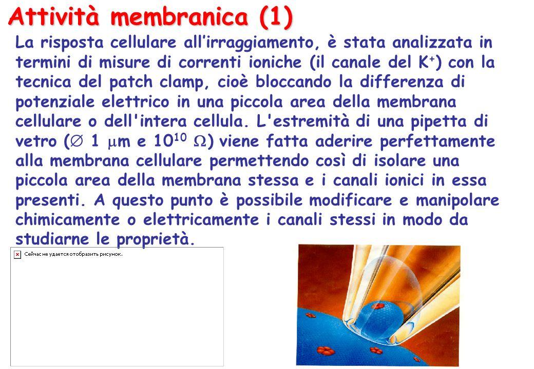 Attività membranica (1) La risposta cellulare allirraggiamento, è stata analizzata in termini di misure di correnti ioniche (il canale del K + ) con la tecnica del patch clamp, cioè bloccando la differenza di potenziale elettrico in una piccola area della membrana cellulare o dell intera cellula.