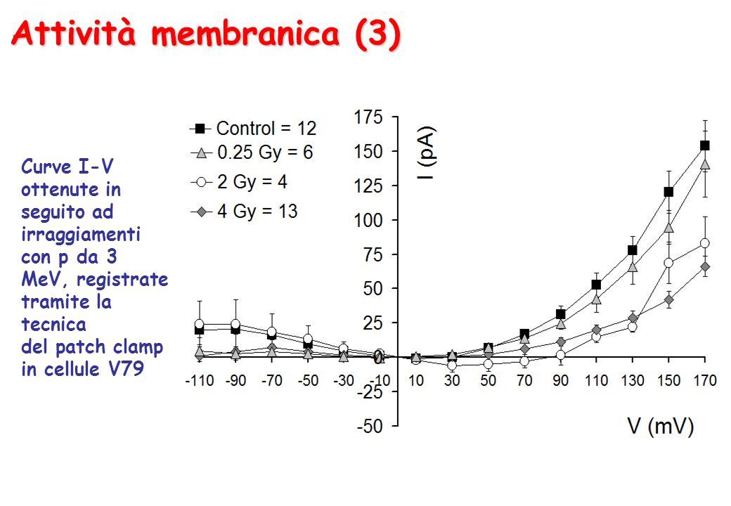 Attività membranica (3) Curve I-V ottenute in seguito ad irraggiamenti con p da 3 MeV, registrate tramite la tecnica del patch clamp in cellule V79