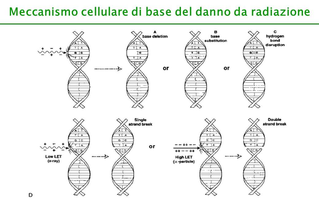 Meccanismo cellulare di base del danno da radiazione Le radiazioni ionizzanti possono danneggiare direttamente il bersaglio molecolare, oppure ionizzare lacqua e quindi produrre radicali liberi che aggrediscono a loro volta le molecole.