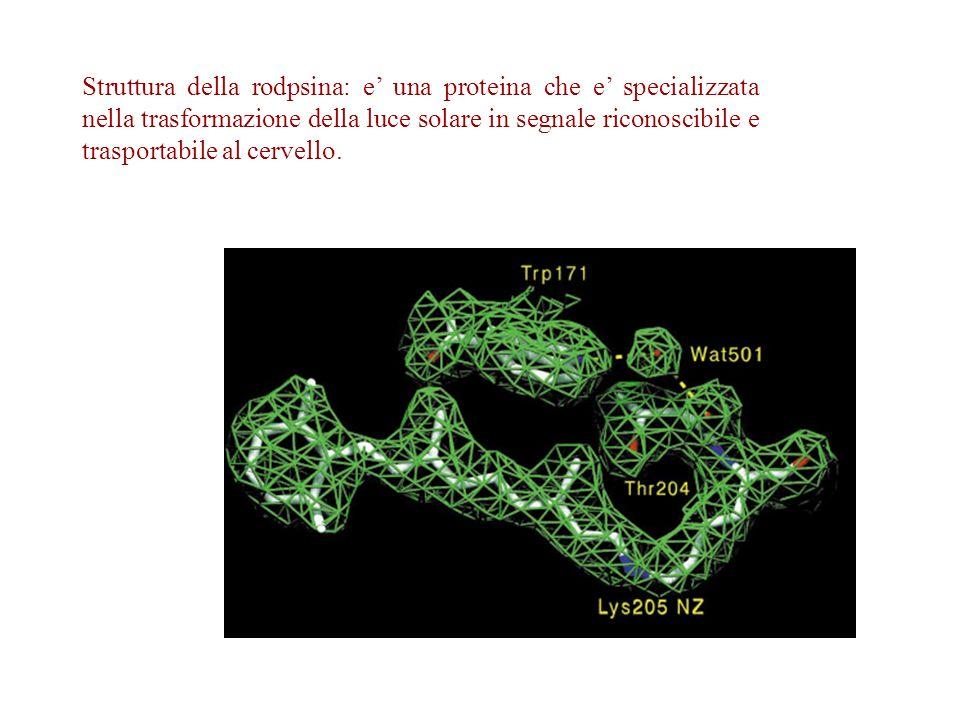 Struttura della rodpsina: e una proteina che e specializzata nella trasformazione della luce solare in segnale riconoscibile e trasportabile al cervel