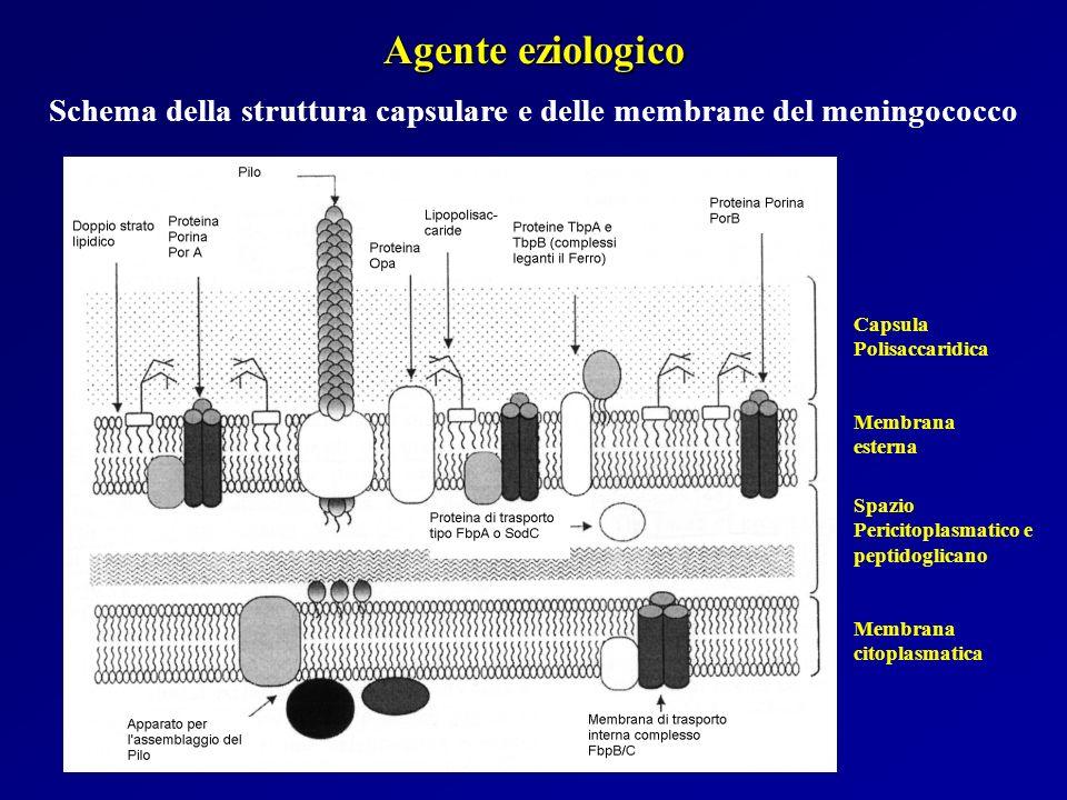 Agente eziologico Schema della struttura capsulare e delle membrane del meningococco Capsula Polisaccaridica Membrana esterna Spazio Pericitoplasmatic