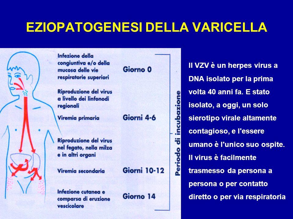 II virus varicella-zoster (VZV) determina due quadri clinici diversi: la varicella, che fa seguito alla forma primaria d infezione, quando il virus incontra un soggetto suscettibile l herpes zoster, dovuto alla riattivazione del VZV, rimasto in forma latente nei gangli nervosi sensitivi del midollo spinale e dei nervi cranici, dopo il superamento della varicella