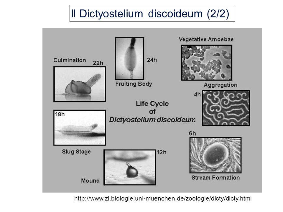 Il Dictyostelium discoideum (2/2) http://www.zi.biologie.uni-muenchen.de/zoologie/dicty/dicty.html