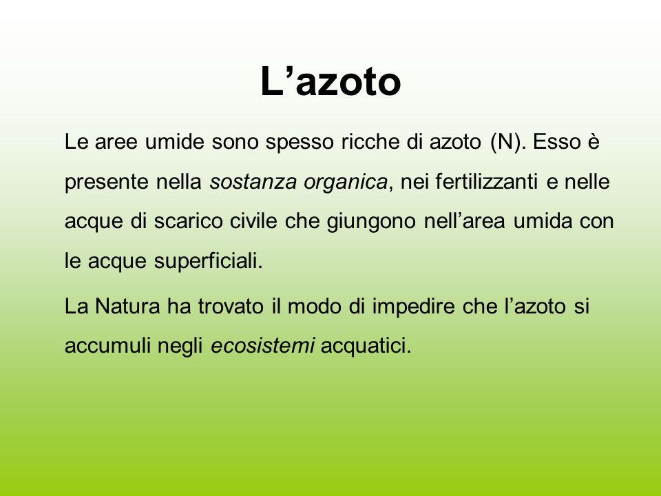 Lazoto Le aree umide sono spesso ricche di azoto (N). Esso è presente nella sostanza organica, nei fertilizzanti e nelle acque di scarico civile che g