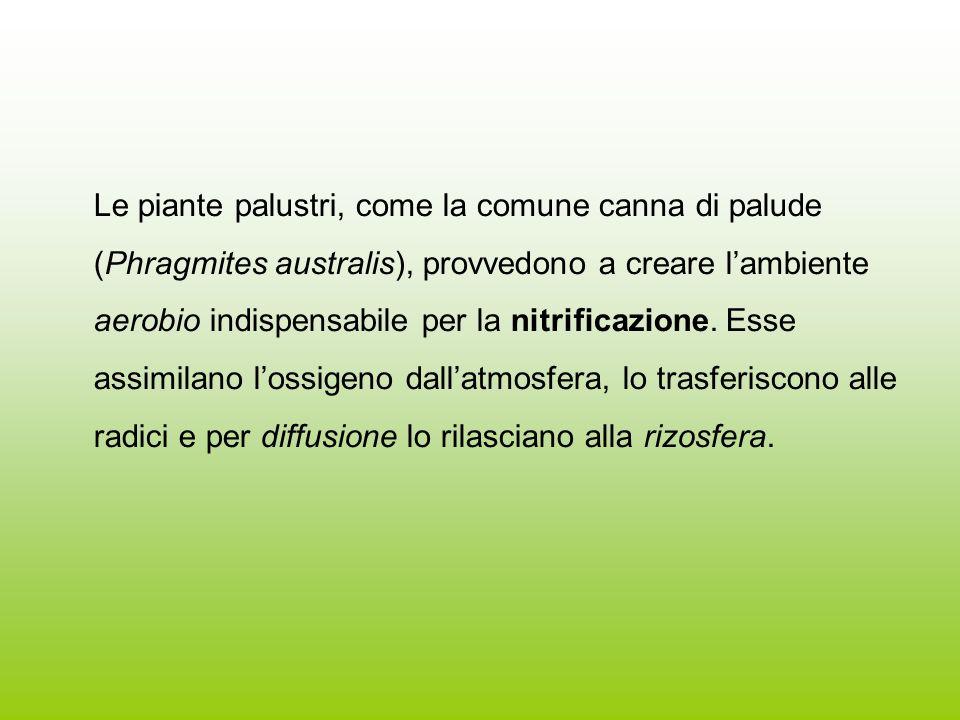 Le piante palustri, come la comune canna di palude (Phragmites australis), provvedono a creare lambiente aerobio indispensabile per la nitrificazione.