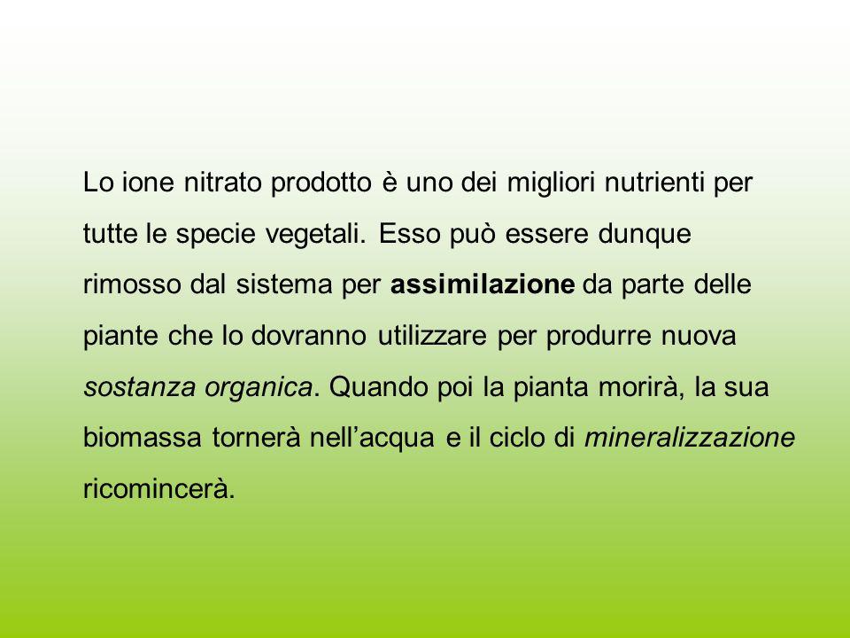 Lo ione nitrato prodotto è uno dei migliori nutrienti per tutte le specie vegetali. Esso può essere dunque rimosso dal sistema per assimilazione da pa