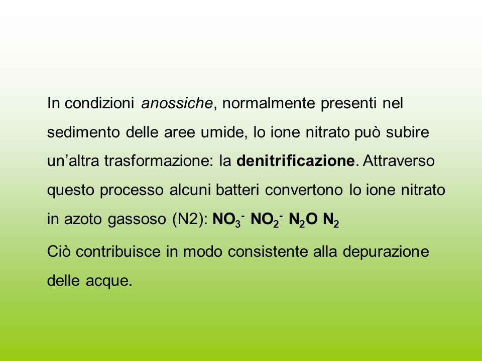 In condizioni anossiche, normalmente presenti nel sedimento delle aree umide, lo ione nitrato può subire unaltra trasformazione: la denitrificazione.