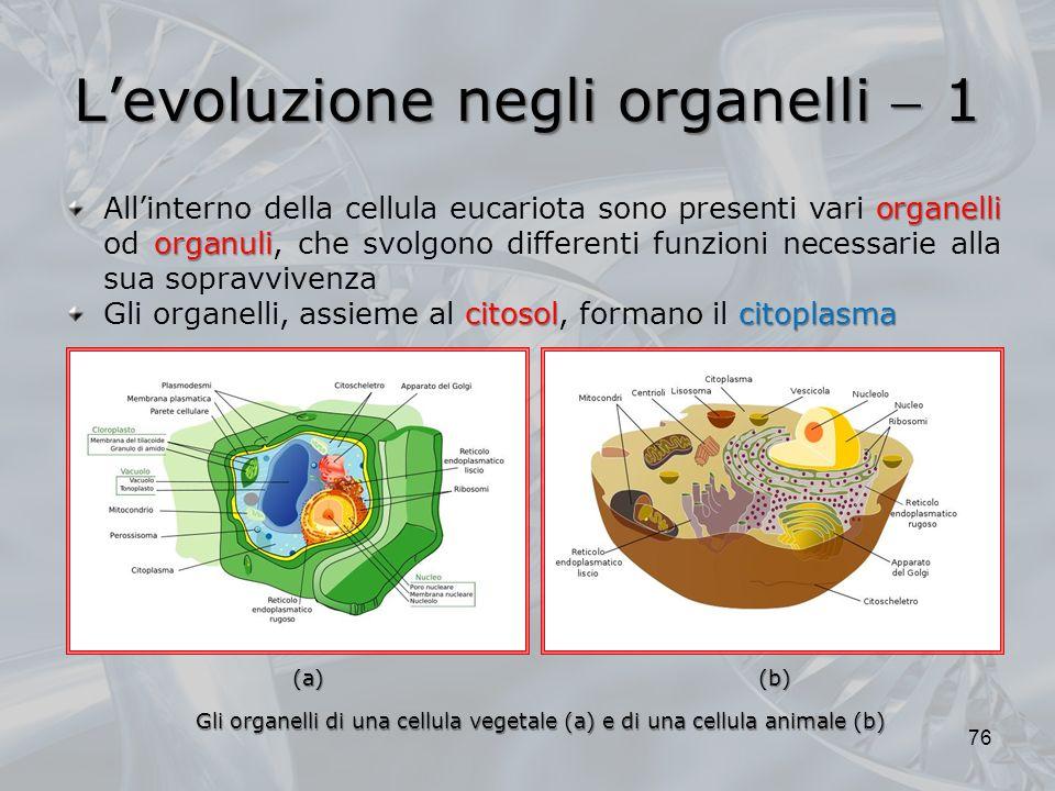 Levoluzione negli organelli 1 76 organelli organuli Allinterno della cellula eucariota sono presenti vari organelli od organuli, che svolgono differenti funzioni necessarie alla sua sopravvivenza citosolcitoplasma Gli organelli, assieme al citosol, formano il citoplasma Gli organelli di una cellula vegetale (a) e di una cellula animale (b) (b)(a)