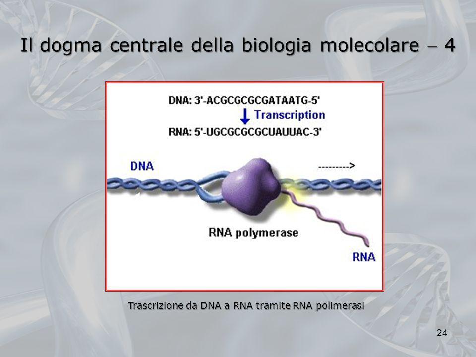 Trascrizione da DNA a RNA tramite RNA polimerasi 24 Il dogma centrale della biologia molecolare 4
