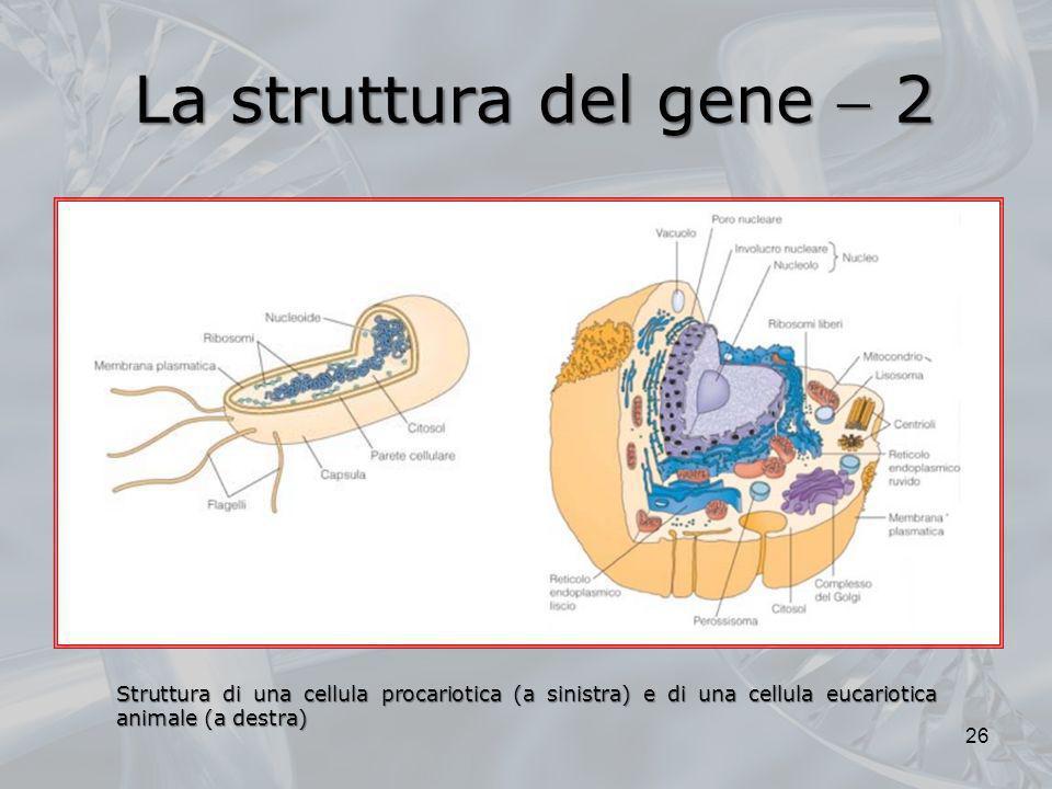 La struttura del gene 2 Struttura di una cellula procariotica (a sinistra) e di una cellula eucariotica animale (a destra) 26