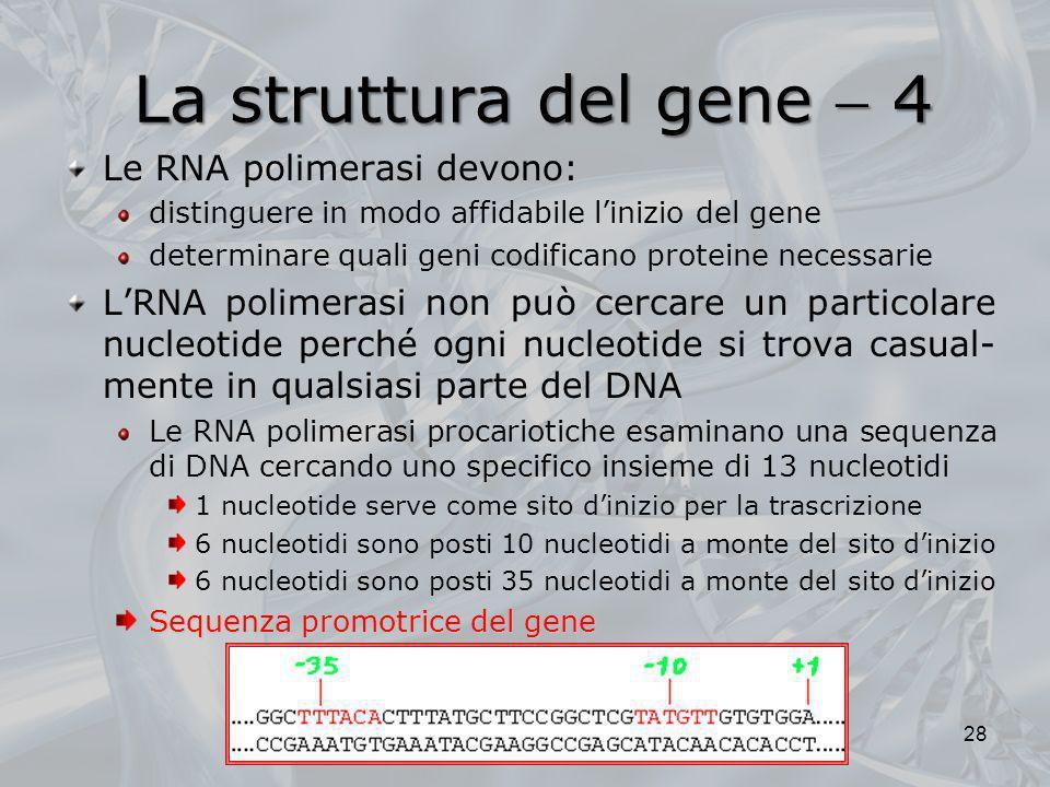 La struttura del gene 4 Le RNA polimerasi devono: distinguere in modo affidabile linizio del gene determinare quali geni codificano proteine necessari