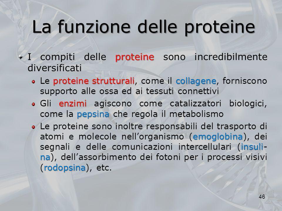 La funzione delle proteine proteine I compiti delle proteine sono incredibilmente diversificati proteine strutturalicollagene Le proteine strutturali,