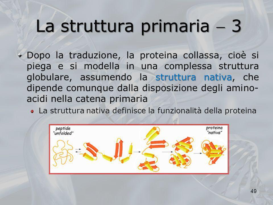 La struttura primaria 3 struttura nativa Dopo la traduzione, la proteina collassa, cioè si piega e si modella in una complessa struttura globulare, as