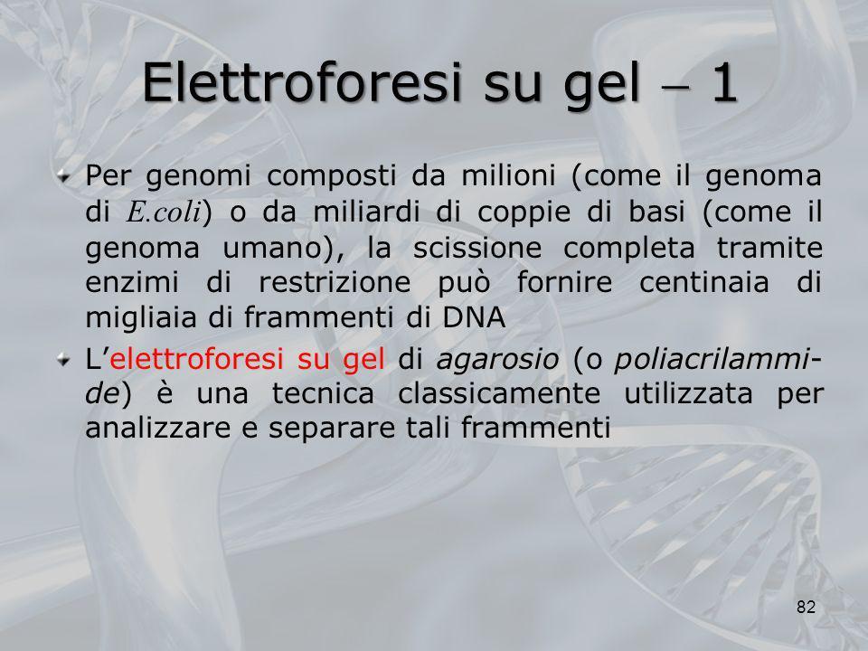 Elettroforesi su gel 1 Per genomi composti da milioni (come il genoma di E.coli ) o da miliardi di coppie di basi (come il genoma umano), la scissione