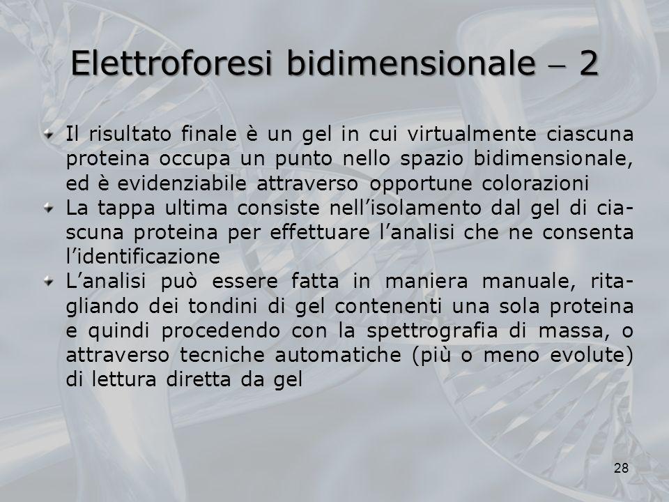 Elettroforesi bidimensionale 2 Il risultato finale è un gel in cui virtualmente ciascuna proteina occupa un punto nello spazio bidimensionale, ed è ev