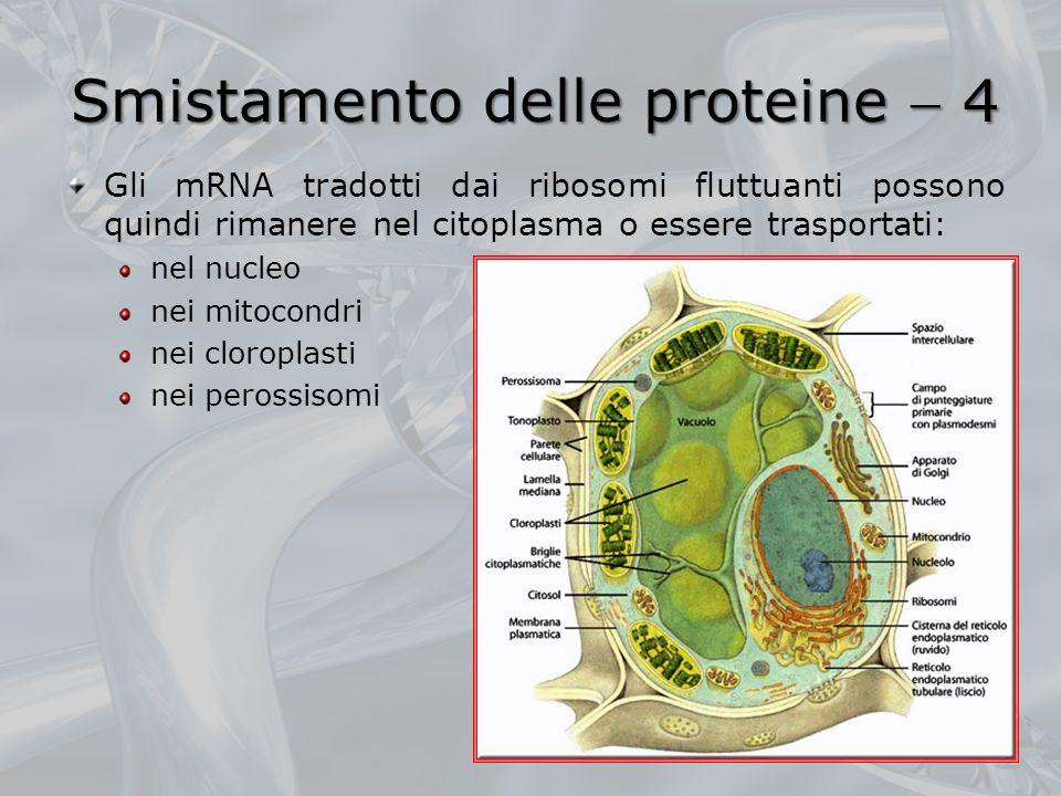 Smistamento delle proteine 4 Gli mRNA tradotti dai ribosomi fluttuanti possono quindi rimanere nel citoplasma o essere trasportati: nel nucleo nei mit