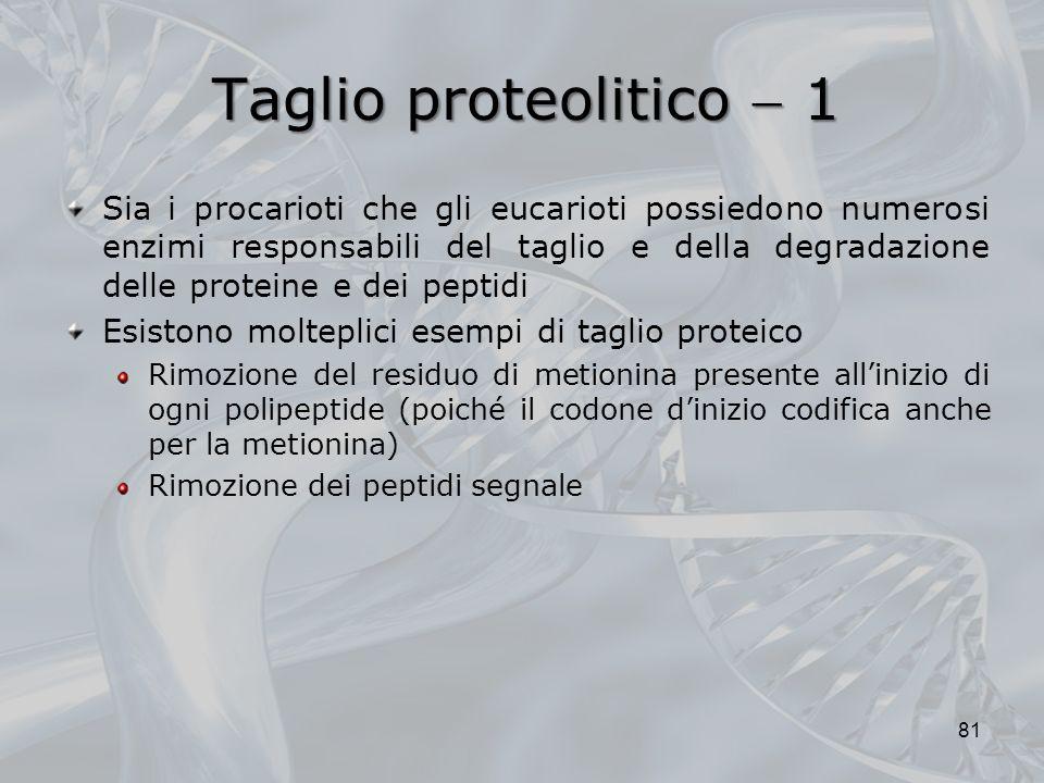 Taglio proteolitico 1 Sia i procarioti che gli eucarioti possiedono numerosi enzimi responsabili del taglio e della degradazione delle proteine e dei