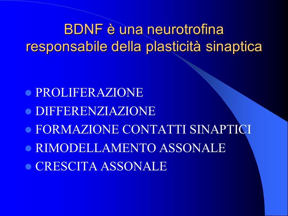 BDNF è una neurotrofina responsabile della plasticità sinaptica PROLIFERAZIONE DIFFERENZIAZIONE FORMAZIONE CONTATTI SINAPTICI RIMODELLAMENTO ASSONALE CRESCITA ASSONALE