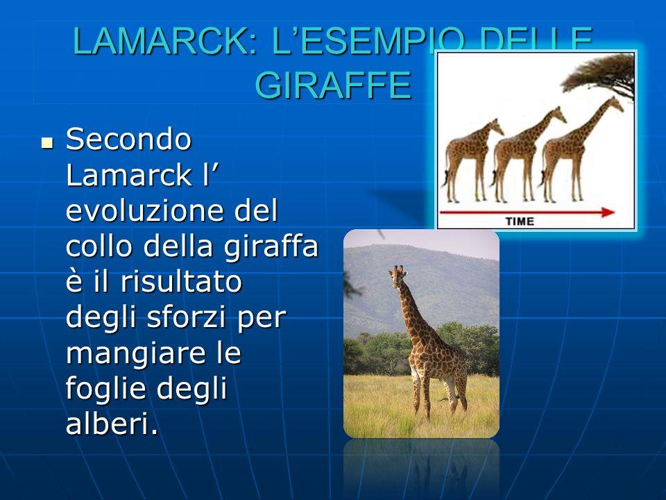 LAMARCK: LESEMPIO DELLE GIRAFFE Secondo Lamarck l evoluzione del collo della giraffa è il risultato degli sforzi per mangiare le foglie degli alberi.